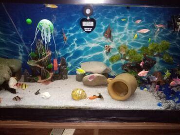Akvariumlar - Azərbaycan: Tecili satilir icinde 40,50dene baliq olar elin ici boyda suse