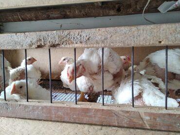 Продаю цыплят бролеров 23 дня, по 200 сом