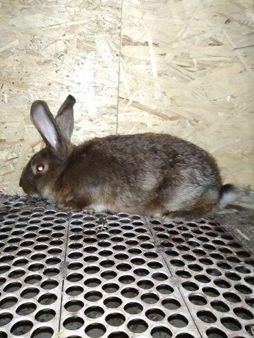Декоративные кролики - Кыргызстан: Срочно продается! Кролик порода сатинСамецВозраст три месяца, цена