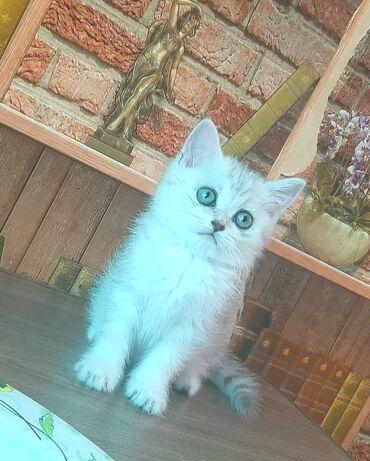 Животные - Пригородное: Чистокровные котята шотландской породы!Мальчик и девочка!Серебристая