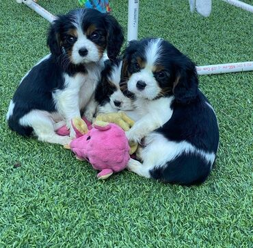 I phone - Ελλαδα: Cavalier king Charles spaniel puppies I have absolutely loving and