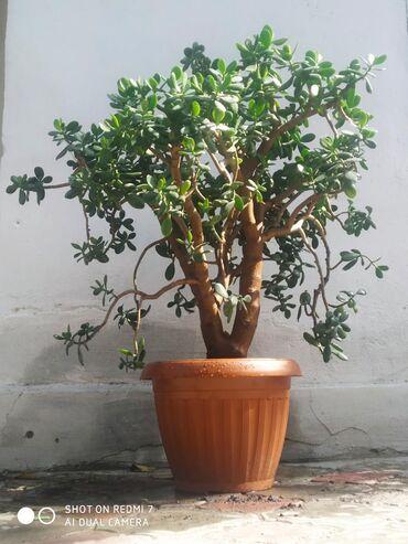 Комнатные растения - Узген: Продается цветок высота 100см договорная доставка по городу Ош