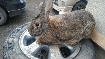 "Грызуны - Кыргызстан: Продаю крола породы""Фландр"".Возраст 11 месяцев.Находимся в Беловодске"