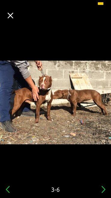 Животные - Узген: Продаётся питбуль кубинский 1,5год на людей нет огресии но бродячих