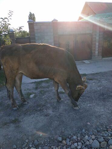 Продаю тёлку возраст 1,6 мес. мать большая молочная корова
