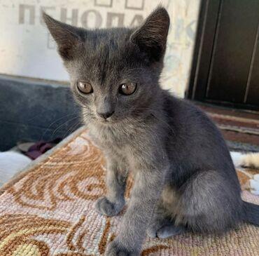 Находки, отдам даром - Сокулук: Отдам котят, девочки, от хорошей мамы-мышеловки. Без блох и паразитов