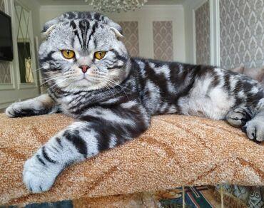 Коты - Кыргызстан: Вязка!!! Предоставляется для вязки клубный Шотландец (SCOTTISH FOLD)