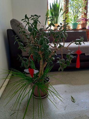Продаю денежное дерево циперус алоэхлорофитум,радугела,,,Цены