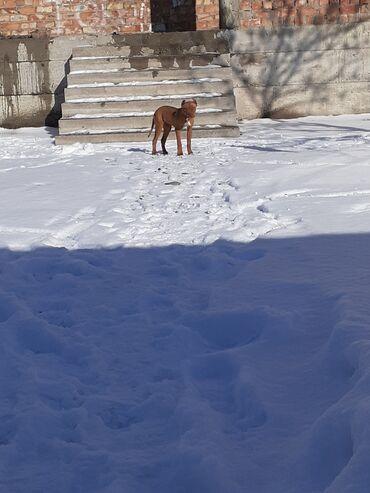 перфораторы pit в Кыргызстан: Срочно!!! Продаю щенка американского питбулья пол: девочка 3.5