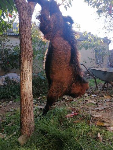 heyvanlar - Azərbaycan: Keçi əti və qurbanlığ heyvanlar olur. Tam halalığla kəsilir doğranılır