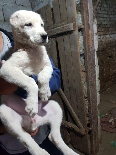 104 объявлений   ЖИВОТНЫЕ: Сао щенки алабай. 2.5 месяца. продам в хорошие руки. цена