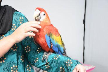 Χειροκίνητο μωρό Scarlet Macaw Parrot Silly TameΧΕΙΡΟΠΟΙΗΜΕΝΟΣ ΣΚΑΛΑΡΙ