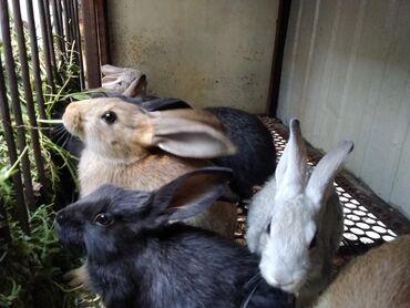 продам-крольчат в Кыргызстан: Продаю 2 месячных крольчат продаю оптам уступка будет