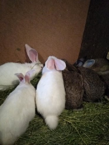 шуба кроликовая в Кыргызстан: Продаю кроликов порода Фландер возраст 3 месяца. Обращаться по