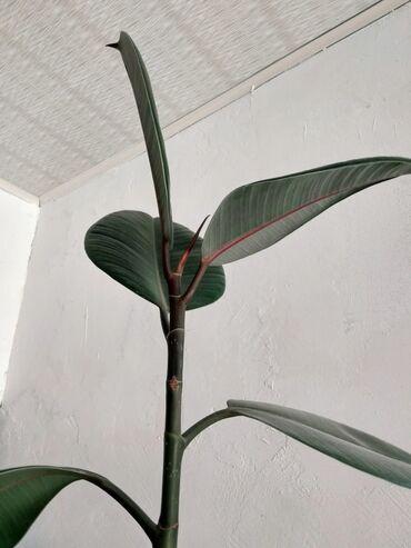 monstera bitkisi - Azərbaycan: Təbii, 5 yaşlı Fikus bitkisi Hündürlük: 2.20 metrÜnvan: Abşeron