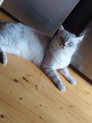 тигровые коты в Азербайджан: Кот на вязку. Чистокровный Скоттиш-страйт,окрас Серебристая шиншилла,3