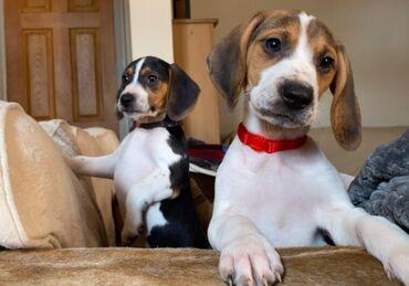 Για σκύλους - Αθήνα: Gorgeous Beagle Pups. Gorgeous litter of Beagle puppies. 3 girls and 2