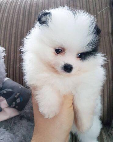 Πωλούνται υπέροχα κουτάβια από Πομερανία Κουτάβια Pomeranian διαθέσιμα