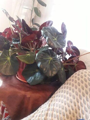 Декор для дома - Каинды: Продаю красивый комнатный цветок цена 850 сом
