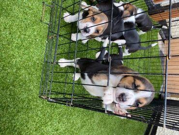 Πώληση κουτάβια BeagleΤο αγαπημένο μας κορίτσι Narla έχει γεννήσει 9