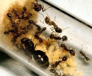 1125 объявлений: В наличии колонии муравьев Мессор Структор (Жнецы) численностью: Матка