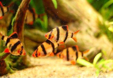 Sumatra Barbus