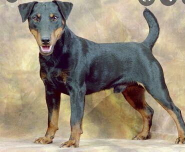 купить для собаки в Кыргызстан: Куплю собаку Ягдтерьера, суку или кабеля, можно взрослую можно щенка