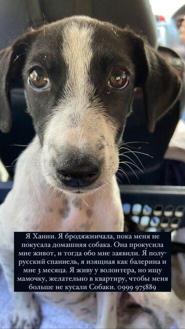 уаз хантер бишкек in Кыргызстан | АВТОЗАПЧАСТИ: Щенок Ханни ищет дом, девочка 3 месяца, лучше в квартиру, потому что