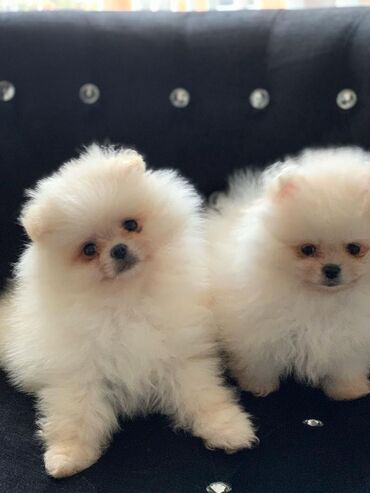Pomeranian κουτάβια προς πώληση, έχουμε αρσενικά και θηλυκά Pomeranian
