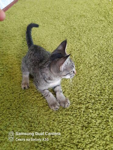 Животные - Джалал-Абад: Отдам котёнок 2-месяц