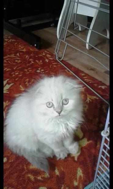 Продаю котёнка, девочка скотиш фолд от в Бишкек