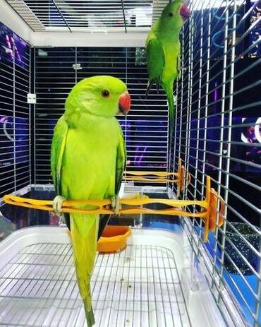 2357 объявлений: Продаются Инди́йские ко́льчатые попуга́и, или ожере́ловые попуга́и Кр