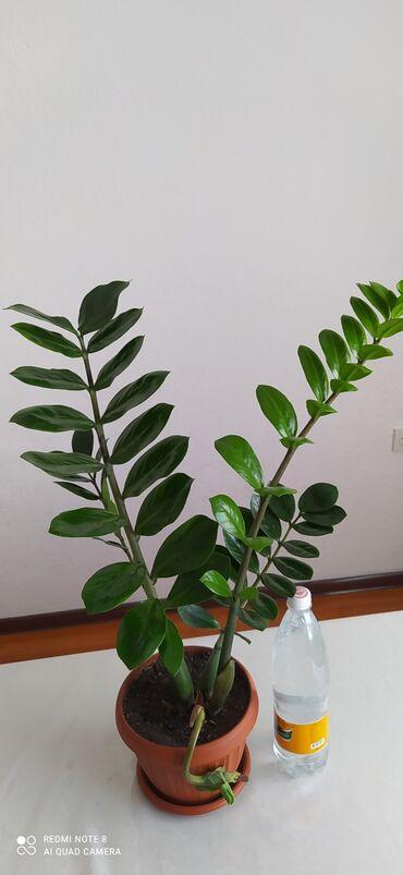 48 объявлений: Замиакулькас(долларовое дерево)