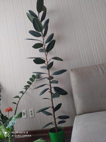 18 объявлений: Очень высокое и красивое комнатное растение. Подойдет как для офиса