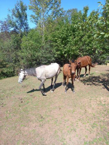 33 elan | HEYVANLAR: Atların 3 də satılır qiyməti razılaşma yolu ilə