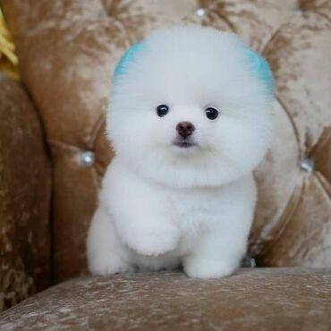 Για σκύλους - Αθήνα: Μίνι κουτάβια Pomeranian προς πώλησηWhatsApp μου +33 Γεια σας έχουμε