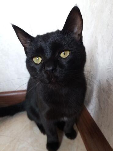 Бомбейская кошка Имя:ЛайкиЦвет:чёрный Приучена к лодке Не царапает