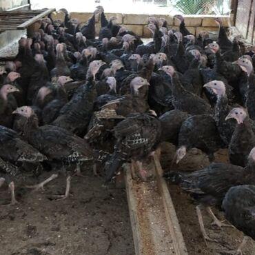 bir günlük kirayə evlər in Azərbaycan   GÜNLÜK KIRAYƏ MƏNZILLƏR: Cins hinduşkalar qabaqdan bayram dolu gunler gelir alin hinduşkalardan