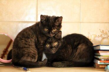 котенок в Кыргызстан: Продаётся породистый котёнок британской кошки.Мини-пантера чёрный ор
