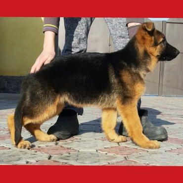 Продаю щенка Немецкой овчарки в Бишкек