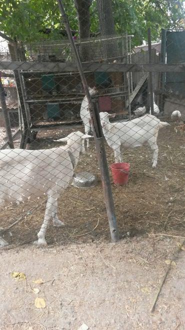 Козы белые безрогая . молочной породы. в Бишкек