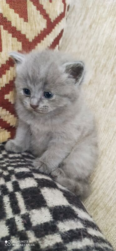 Животные - Каирма: Шотландские котята мальчик и девочкаРодились. 04.12.21БИШКЕК4000