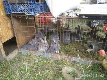 Кролята 1 месяц по 100 сомов на в