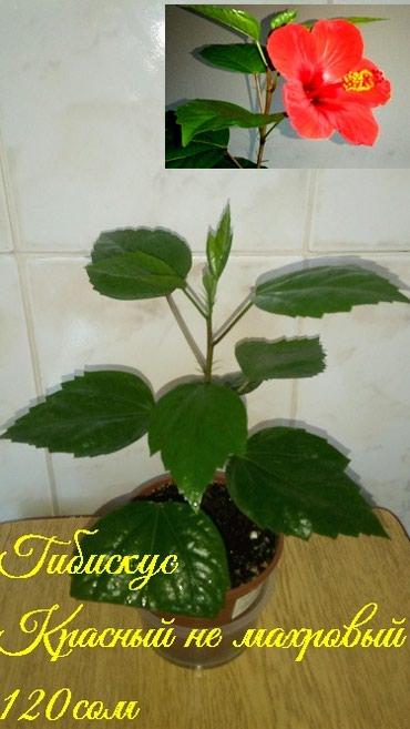 Продаю комнатные растения от 150 с до 300 в Бишкек - фото 6