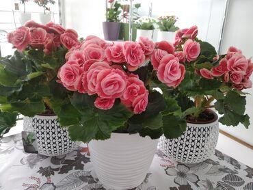 продажа 2 комнатных квартир в бишкеке в Кыргызстан: Магазин горшечных цветов и цитрусовых растений ждёт своих новых и стар