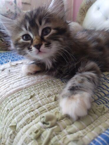 2694 объявлений: Отдаю котят в надёжные и добрые руки! Лоток знают, кушают всё. 2.5