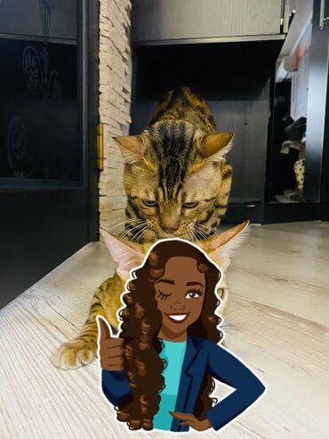 Крутой папа! Для ваших будущих котятбенгальский кот для вязки возраст