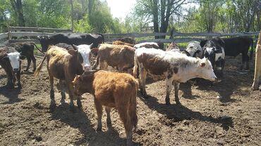 Животные - Кыргызстан: Продаю | Бык (самец) | Для разведения