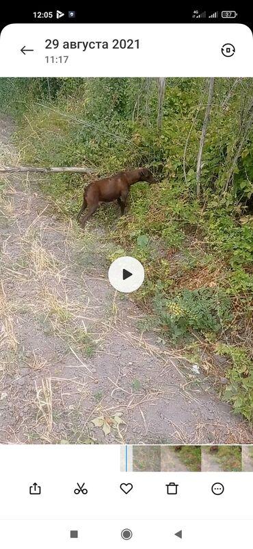 Продаю охотничию собаку смесь курцхара и спаниеля ей 1.5 года рабочая