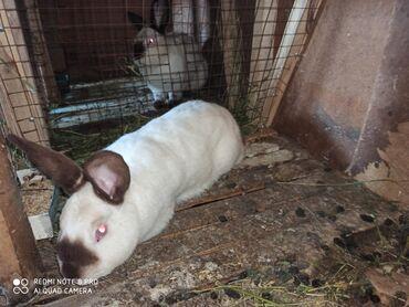 Животные - Баткен: Декоративные кролики